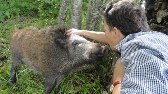 Wild boar Col di Lavacchio Tuscany Italy