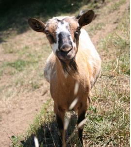 Old Goat Col di Lavacchio Tuscany Italy
