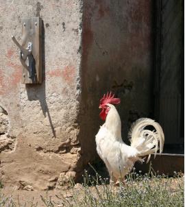 Cock Col di Lavacchio Tuscany Italy