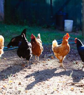 Hens Col di Lavacchio Tuscany Italy